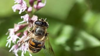 Wichtig für die Bestäubung: wildlebende Bienen und Insekten (Symbolbild)