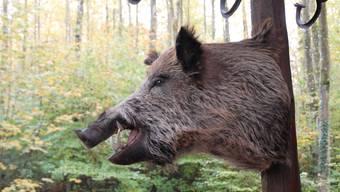 Schweinezüchter vom Verband Suisseporcs fordern, dass mehr Wildschweine erlegt werden.