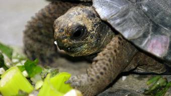 Meeresschildkröten essen im Sommer Algen, die für Menschen giftig sind. Die giftige Substanz findet sich auch im Fleisch wieder. (Symbolbild)