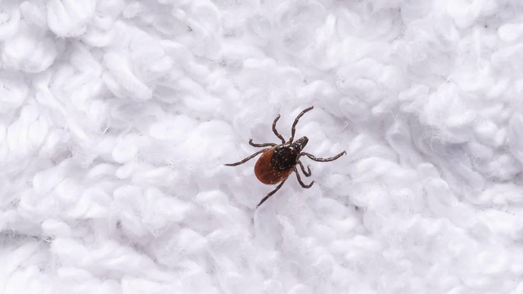 Eine erwachsene weibliche Zecke auf einem Handtuch in Spiez. Die gemeldeten Enzephalitis-Erkrankungen haben sich in diesem Jahr fast verdoppelt. (Archivbild)