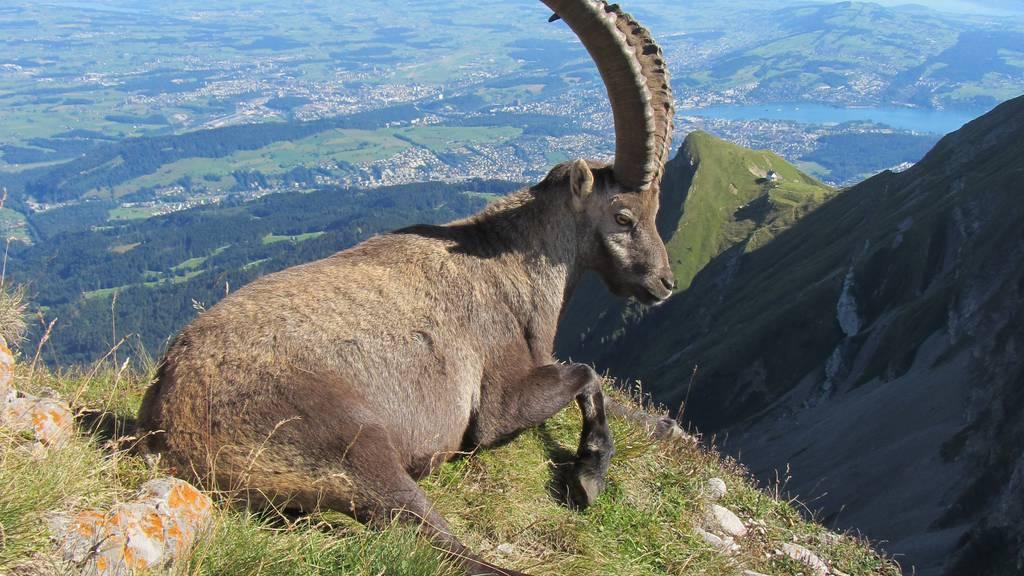 Ferientipp: Steinbock Safari auf  Pilatus Kulm