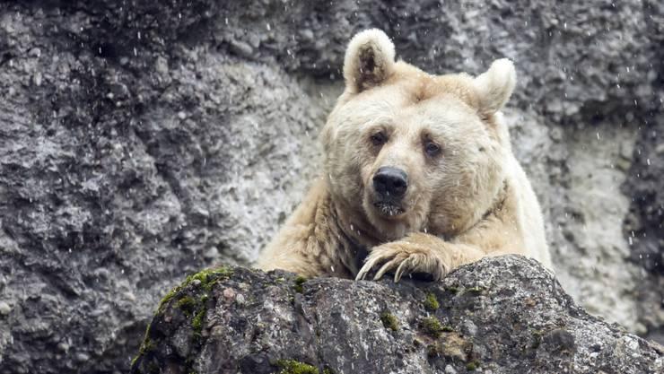 Momentan kein Grund zur Beunruhigung für die Bären im Kanton Uri: Die Stimmberechtigten haben zwar eine Volksinitiative gutgeheissen, die die Bevölkerung besser vor Grossraubtieren schützen soll, doch dürfte dies kaum Auswirkungen auf die Bestandesregulierung haben. (Archivbild)