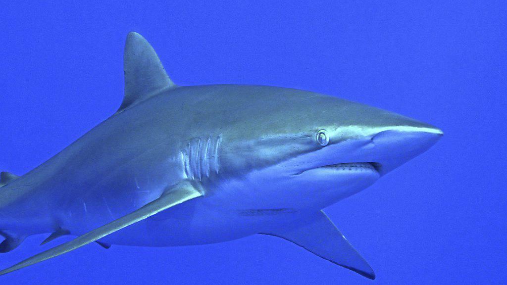 Deutlicher Rückgang von Haien an Korallenriffen weltweit