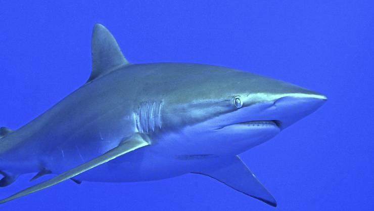 In der Nähe von Korallenriffen sind weltweit immer weniger Haie zu finden. (Archivbild)