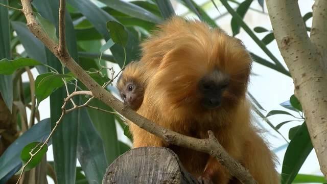 Nachwuchs bei seltenen Goldgelben Löwenäffchen im Zoo Zürich