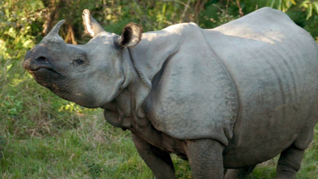 Zu viele Nashörner in nepalesischem Park?