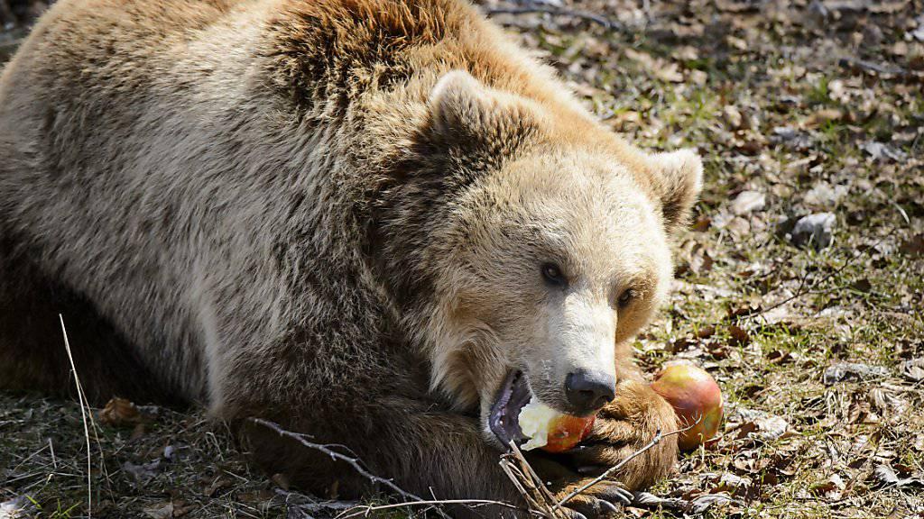 Wanderer sind am Samstagmorgen in der Region Riederalp VS auf einen Bären gestossen. Der Kanton Wallis hat offiziell bestätigt, dass es sich tatsächlich um einen Bären gehandelt hat. (Archivbild)