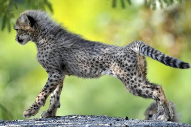 Gepardkinder