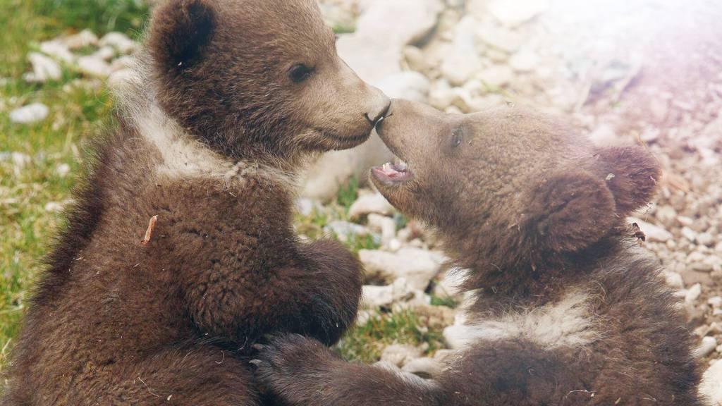 """Bärenparkausbau: Grüne wehren sich gegen """"Publikumsmagnet"""""""