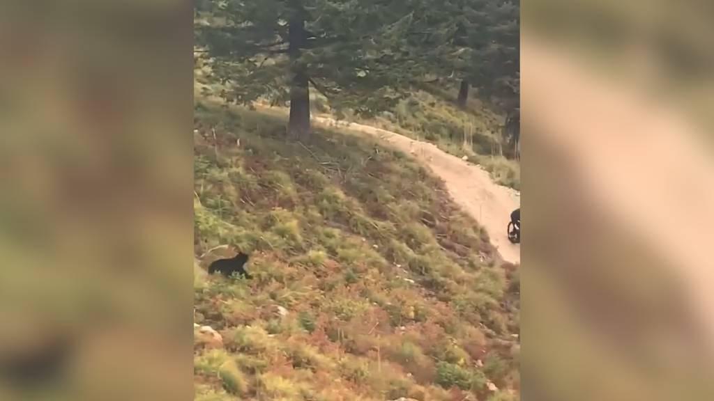Montana (USA): Bär rennt Biker hinterher