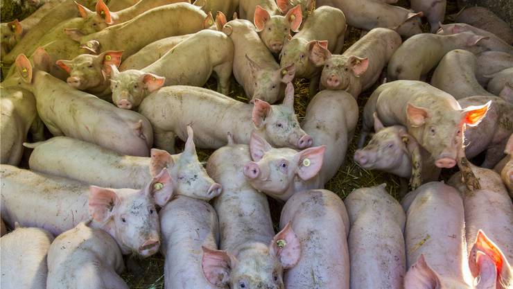 Je grösser die Tierfarm, desto mehr Antibiotika müssen verwendet werden. Allerdings werden viele Antibiotika schlicht als Wachstumsförderer eingesetzt, speziell bei Schweinen. ullstein bild