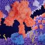 Der ACE2-Rezeptor für das Sars-CoV-2-Virus.