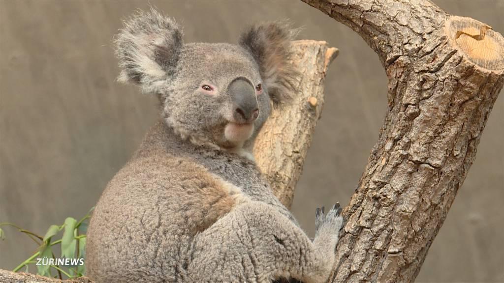 Koala Love-Story im Zoo Zürich