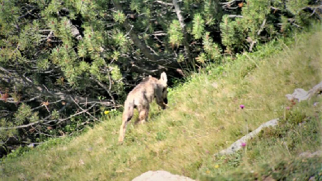 Wolfsrudel mit mindestens sechs Welpen beobachtet