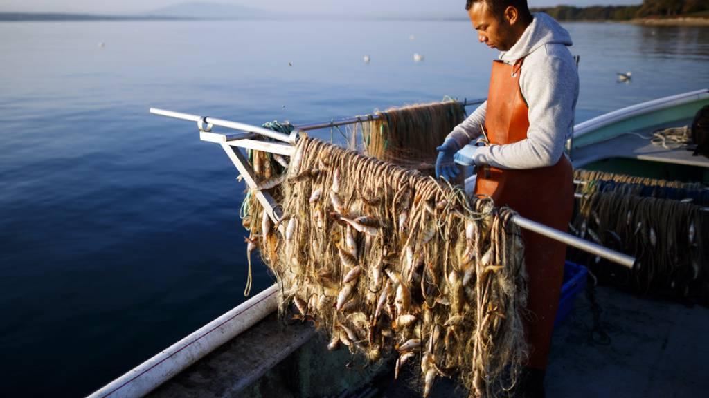 Berufsfischer Jeremie Clerc zieht in Prangins VD ein Netz mit Egli auf das Boot. (Archivbild)