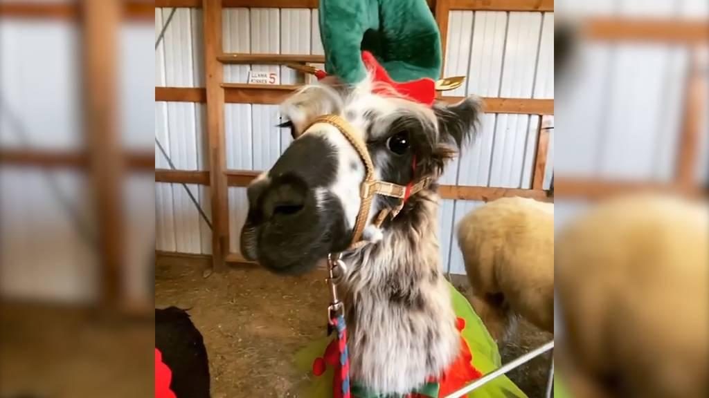 Wer hat ein Weihnachts-Lama-Gramm bestellt?