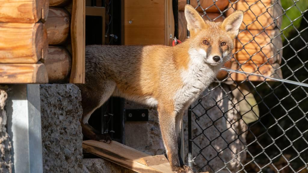 Tiere im Tierpark Goldau vermissen die Besucher