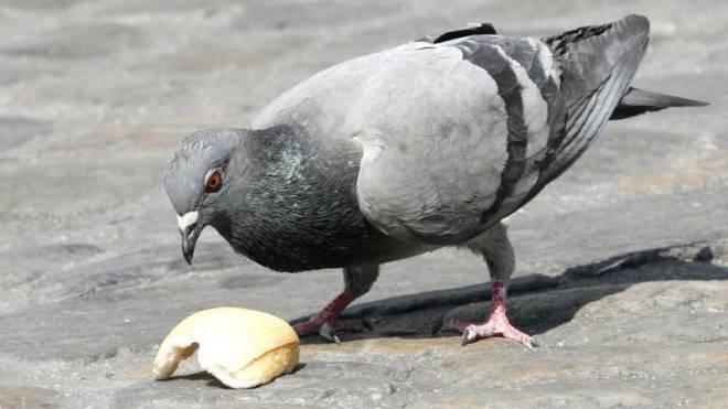 Tauben sollten nicht gefüttert werden. Sie finden auch so genug Nahrung. Foto: Nicole Nars-Zimmer