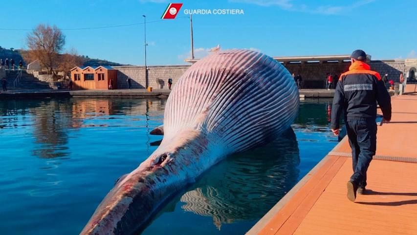 70 Tonnen schwerer Wal strandet im Golf von Neapel