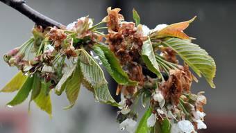 Viele Kirschblüten und Triebe von Weintrauben erfroren in den Frostnächten im April.