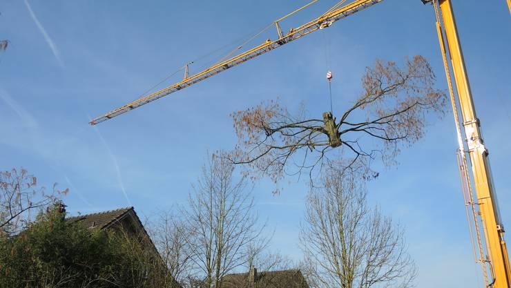 Der Mammutbaum beim Alterszentrum im Grüt in Mellingen wurde gefällt.