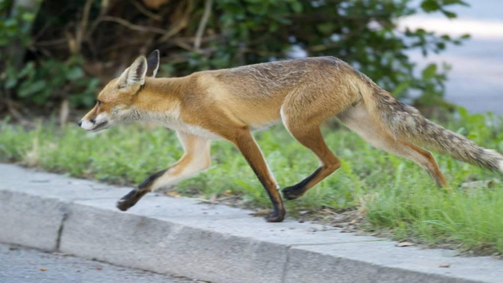 Füchse verursachen Sperrung auf Autobahn