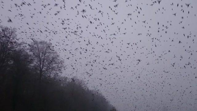 Vogelinvasion im Aargau