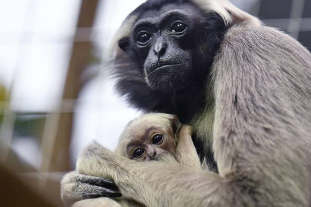 """Die """"kleinen Menschenaffen"""" wurden zum Zootier des Jahres 2019 gewählt."""