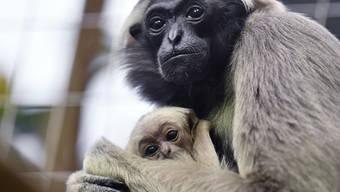 Junge Affen Zoo Zürich Januar 19