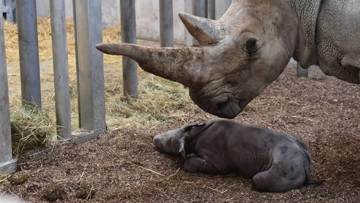 Breitmaulnashorn-Mama Tanda mit ihrem weiblichen Kalb.
