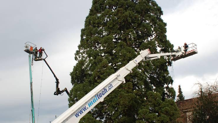 Grosseinsatz: Mit mehreren Hebebühnen wird der Baumriese in Oberrohrdorf mit Lichtgirlanden bestückt. (Peter Riner)