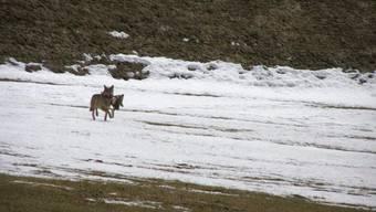 Wolfsichtungen (hier in der Leventina) werden häufiger. (Symbolbild)
