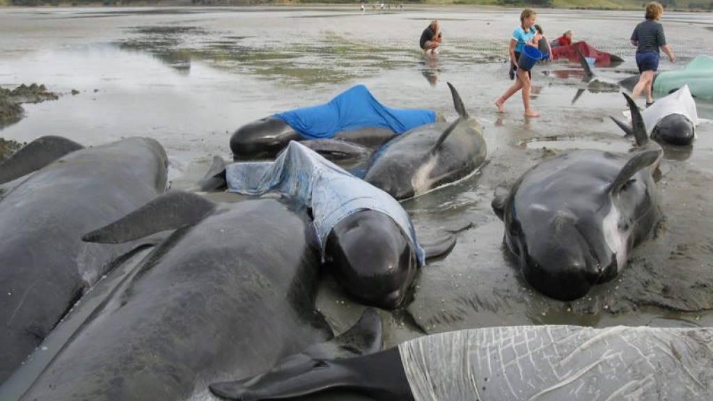 Gestrandete Wale überleben dank hunderter Helfer
