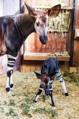 Um Mutter und Kind nicht zu stören, bittet der Zoo die Besucherinnen und Besucher, leise zu sein im Antilopenhaus.