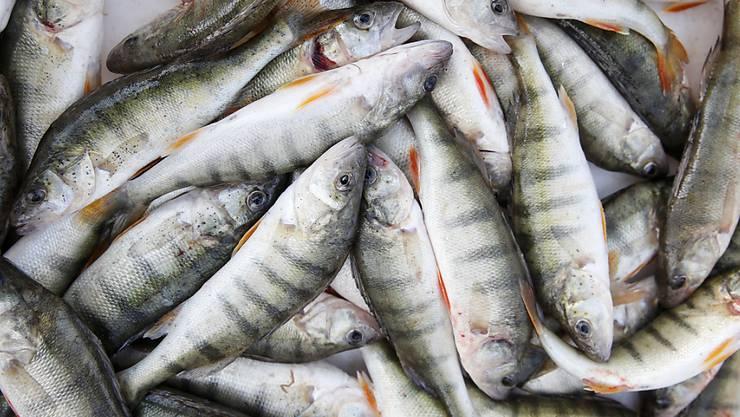 In Schweizer Gewässern gefangene Egli - hier solche aus dem Bielersee - decken die Inlandnachfrage bei weitem nicht ab. Entsprechend attraktiv ist die Zucht, die aber bei dieser Fischart schwierig ist. (Archiv)