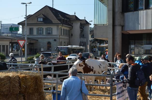 Kühe und Kälber sind auf dem Neumarktplatz zu Gast.