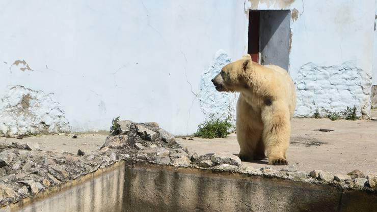 Der Zirkusbär in einem Zoo in Serbien, davor lebte er in einem engen Käfig.