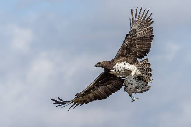 Ein Kampfadler fliegt in Botswana mit einem Perlhuhn als Beute in seinen scharfen Krallen davon.