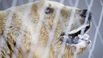 Bär Napa ist an den Zähnen operiert und kastriert worden. In Arosa soll es keine jungen Bären geben (Archivbild).