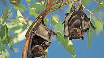 Auch die Schwarzen Flughunde hier im Kakadu-National-Park in Australien haben ein extrem starkes Immunsystem.