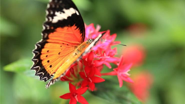 Eine der Attraktionen im Papiliorama sind die Schmetterlinge. zvg