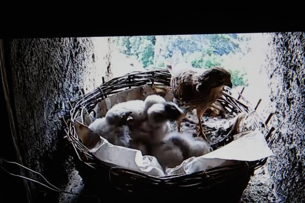 Aus vier der sechs Eier ist ein Junges geschlüpft