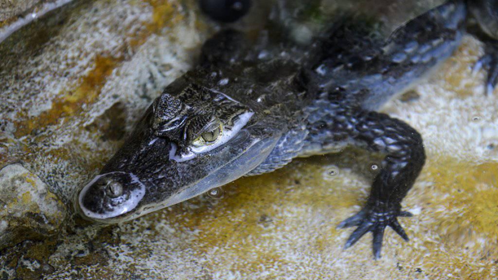 Ein Kaiman von etwa eineinhalb Metern Grösse wird im Hallwilersee vermutet. Ein erfahrener Fischer hat das Reptil am Sonntagabend beobachtet. Die Suche nach dem Tier verlief bisher erfolglos. (Archivbild)