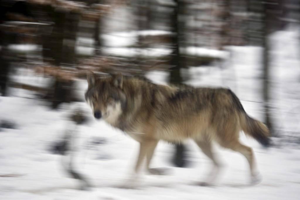 Immer wieder wird ein Wolf in der Schweiz gesichtet, meist bleiben sie den Menschen fern