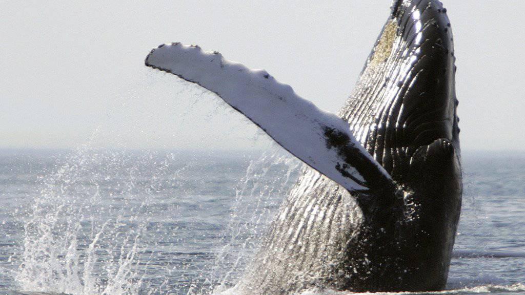 Vor der Nordküste Australiens ist ein Buckelwal unter einem Charterboot aufgetaucht und hat dieses in die Luft geschleudert. Die unsanfte Begegnung endete für einige der Sportfischer mit Gesichtsfrakturen oder gebrochenen Rippen. (Archivbild)