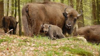 Bleibt es eine Vision, oder wird man – so wie hier am Rothaarsteig – im Naturpark Thal dereinst einem Muttertier mit Kalb begegnen?