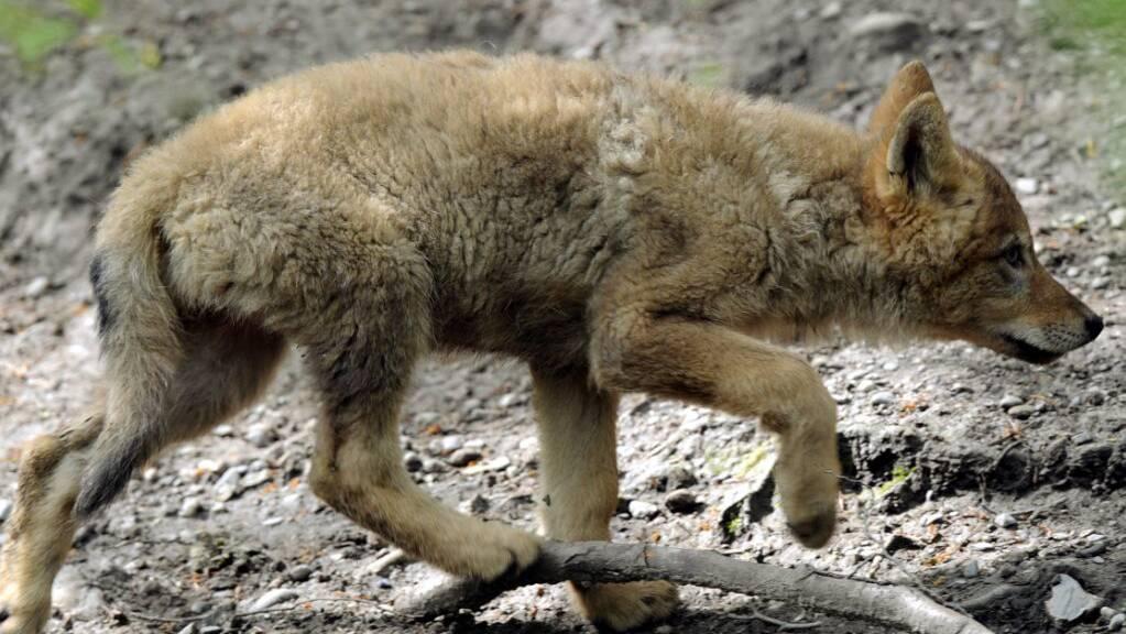 Der Kanton Graubünden will zur Regulierung der Bestände auch mehr als die Hälfte der Jungwölfe eines Rudels erlegen dürfen. (Symbolbild)