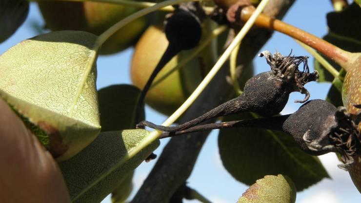 2020 ist Internationales Jahr der Pflanzengesundheit. Eine Uno-Initiative soll das Bewusstsein für Bedrohungen schärfen und Ausbreitung von Pflanzenschädlingen und -krankheiten verhindern. Im Bild: Feuerbrand auf Birne.