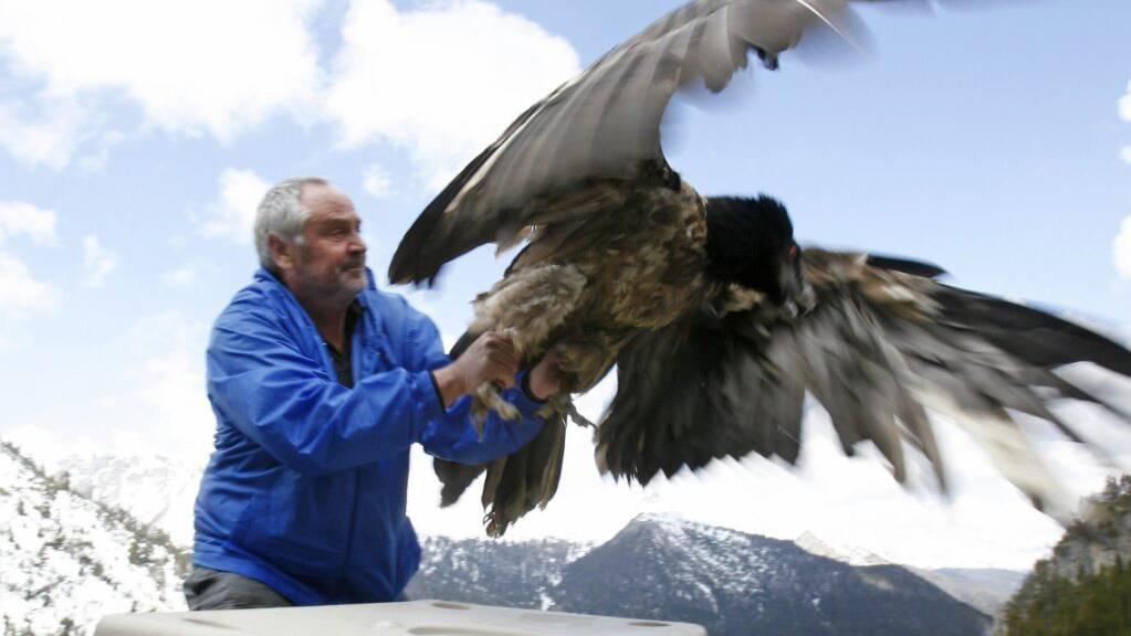 Ein Bartgeier wird im Schweizerischen Nationalpark in der Nähe des Ofenpasses in die freie Wildbahn entlassen. (Archivbild)