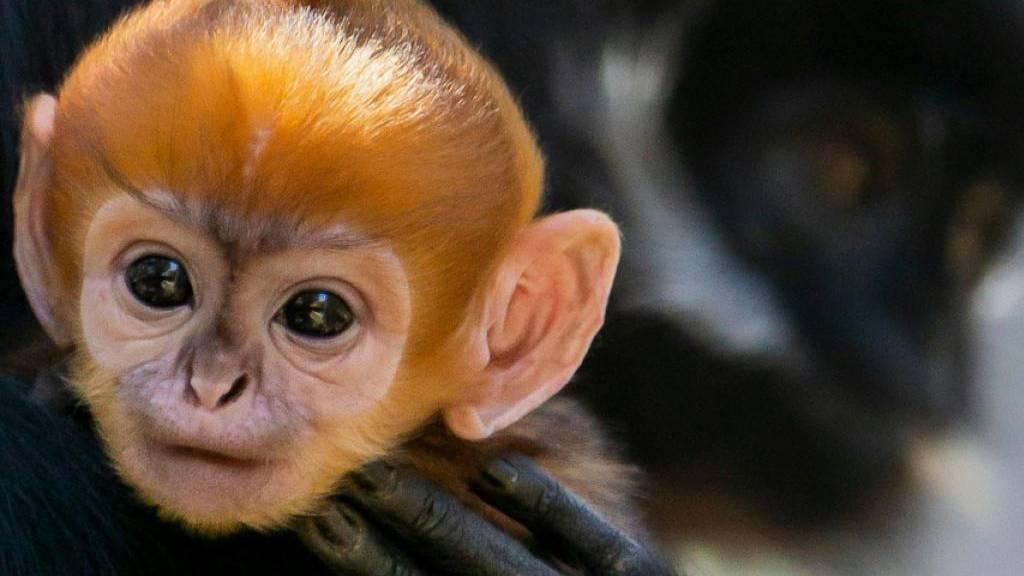 Vom Aussterben bedrohter Affe in australischem Zoo geboren